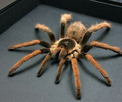 Real Framed Rare Aphonopelma Bicolocatum Hairy Mexican Blood Leg Spider B-219