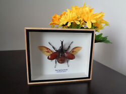 Taxidermy Real Thai Fighting Beetle Insect Insect Display Lepidoptera Zoology