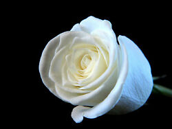 White Rose Aroma Oil by Ambrosial for Diffuser Potpourri Bath Salt Free Shipping