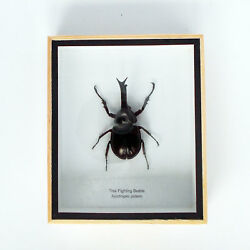 Real Thai Fighting Beetle specimen Xylotrupes gideon in a frame