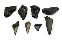 Megalodon Teeth Lot Of 8 Fossils W/8 Info Cards Shark 15720 16o
