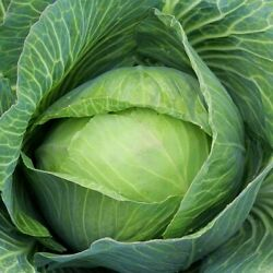 Golden Acre Cabbage Seeds Non-gmo Variety Sizes Free Shipping