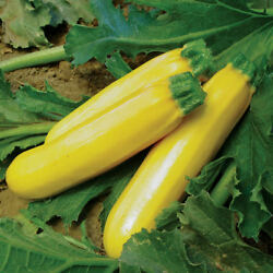 Golden Zucchini Summer Squash Seeds Non-gmo Variety Sizes Sold Free Shipping