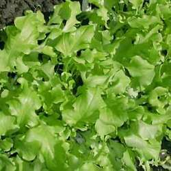 Green Salad Bowl Leaf Lettuce Seeds Non-gmo Cutting Variety Free Shipping