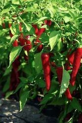Cayenne Large Red Thick Pepper Seeds Non-gmo Variety Sizes Sold Free Ship