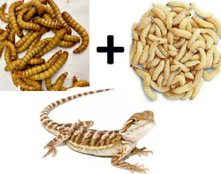 100 Wax Worms amp; 100 Giant Mealworms Pet Bearded Dragon Live Insect Bug Feeders