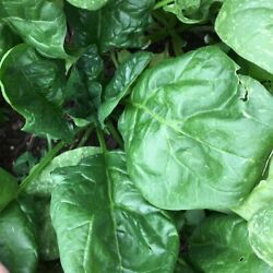 Giant Noble Spinach Seeds NON GMO Variety Sizes FREE SHIPPING