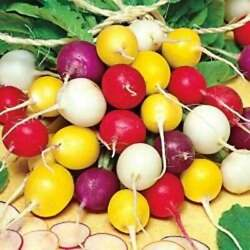 Crayon Colors Radish Mix Colorful Easy Grow Variety Sizes Sold Free Shipping