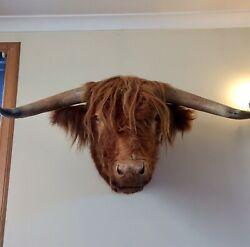 Quality Very Large Taxidermy Ginger Highland Bull / Cow. Rare Scottish