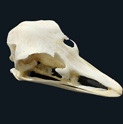 Taxidermy Real Ostrich Skull Animal Skulls Collection Craft Art Halloween Gift