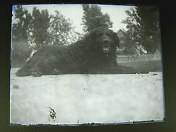 Antique Glass Plate Photograph Negative - Victorian Huge Family Dog