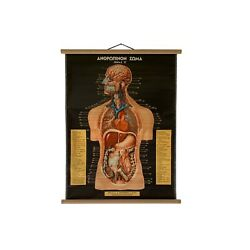Vintage Digestive Respiratory System Pull Down Anatomical Chart School Map