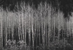 Vintage Ansel Adams Photo Titled Aspens Autumn 1937 Prnt Date 1963 9.25x6.5 In