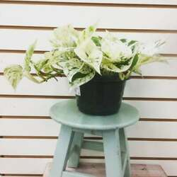 Marble Queen Pothos Indoor/outdoor Live Plant 1 Gallon Air Purifying Plant