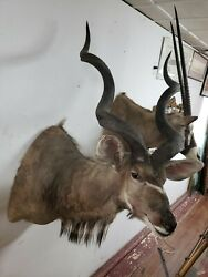 Big 53 South African Greater Kudu Taxidermy Shoulder Mount Horns Hunting Bull