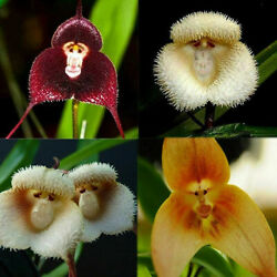 Orchids Monkey Face 50 Pcs Seeds Flower Rare 3 Kind Funny Garden Perennial Plant