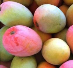Large Grafted Mango Glenn Tropical Fruit Tree 42 Height. Actual Plant.