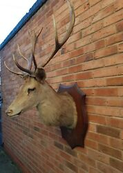 Large Stunning Taxidermy French Red Stag Interior Design Antlers 1930