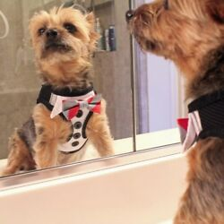 Harness Tuxedo with 4 Interchangeable Bows OR Dog Wedding Harness Dress