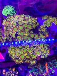 HookedReefer: Live Coral Frag - CK Saturns Ring Zoanthid Zoa 70 POLYP COLONY