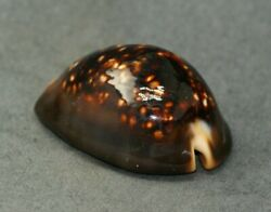 Cypraea Mauritiana. Niger And Rostrated