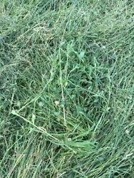 Taul Farms Certified Organic Premium Orchard Grass Clover Hay For Small Pets