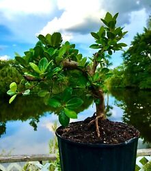 Green Island Ficus Pre-bonsai Tree With Aerial Roots, Wide Base Truck