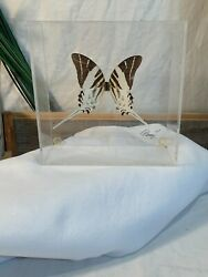Real Giant Swordtail Butterfly Framed - Graphium Androcles - In Sealed Box Frame