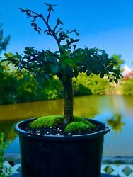 Chinese Elm Pre-bonsai / Mame Bonsai Tree / Tiny Leaves 5 Years Old / Trunk
