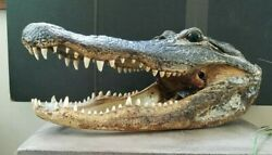 Authentic 14quot; Massive Real Swamp Alligator Head Taxidermy Many Teeth