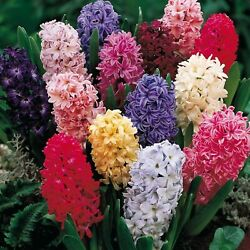 Hyacinth Flower Bulbs Multi Color Mix Bulbs Fall Planting For Spring Blooms.