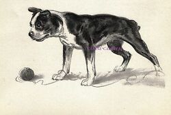 BOSTON TERRIER REALY CUTE  Vintage Dog Print 1950 Diana Thorne