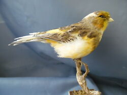 Taxidermy-hunting-chasse-präparat- Island Canary (domestic form) with permit