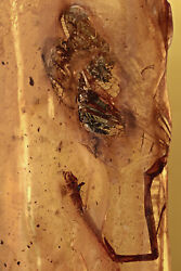 Extremely Rare Odonata Fossil Dragonfly Genuine Baltic Amber + Hq Pic 190115
