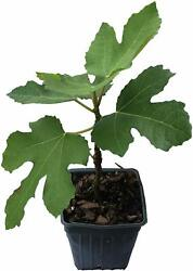 Brown Turkey 2 Fig Plants Live Tree Mission Fruit Plant Well Rooted And Sturdy