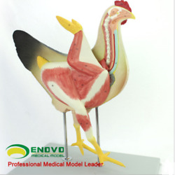 Chicken Poultry Anatomy Model Organs Heart Wing Muscle Veterinary Study Animal T
