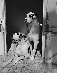 1985 Bruce Weber Magicians Siegfried And Royand039s Great Danes Dogs16x20 Photo Gravure