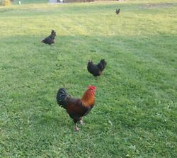 6 french black copper maran hatching eggs free shipping $24.00