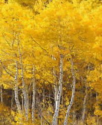 3 50 Quaking Aspen Trees Populus tremuloides Live Bareroot 18 24 Inches Tall