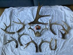Maine Whitetail Moose Deer Antlers Cut-offs Horns Sheds Taxidermy Lot11lbs