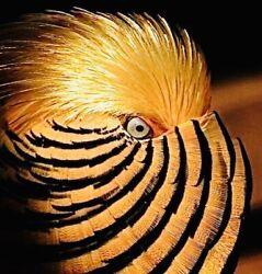 6 Red Golden Pheasant Hatching Eggs Laying Now Please Read Description
