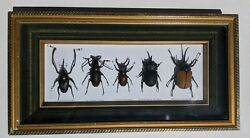 5 Insect Beetle Shadow Box Rhinoceros Bamboo Stag Longhorn Horned Taxidermy
