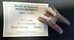 Museum Quality Fully Rooted Bison Tooth 50,000 Years Old Fossil With Coa