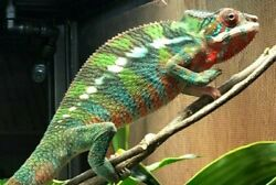 Ambilobe Chameleon Have the excitement of hatching your own Panther egg