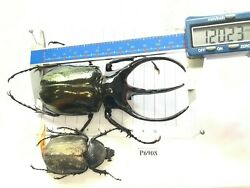 P6908 # Chalcosoma beetle HUGE insect Coleoptera Vietnam