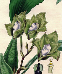 1832 Curtis Botanical Hand Colored Engraving Four-vornered Maxillaria 3146