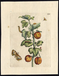 Antique Print-INSECTS-KRUISBES-GOOSEBERRY-pl. 25-Merian-1730