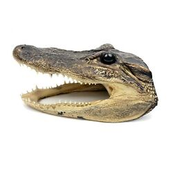 Genuine Small Baby Alligator Head Open Mouthed Taxidermy 6quot; Long