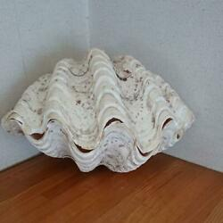 24cm Long X16.5cm Wide Giant Natural Clam Shell Tridacna Clam Shell Weighs 3kg