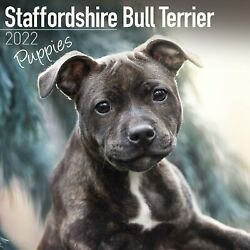 Staffordshire Bull Terrier Puppies 2022 Square Wall Calendar
